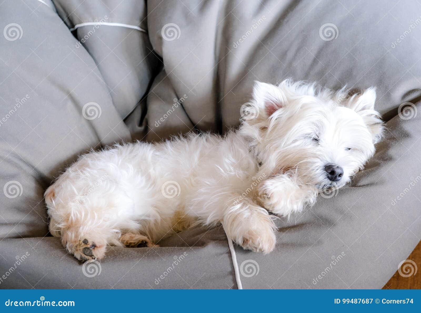 Senior west highland white terrier westie dog sleeping in a bean