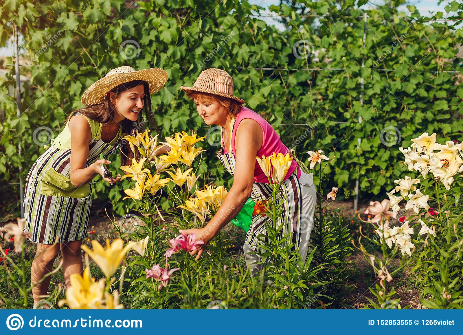 Senior woman and her daughter gathering flowers in garden. Gardeners cutting lilies off with pruner. Gardening concept