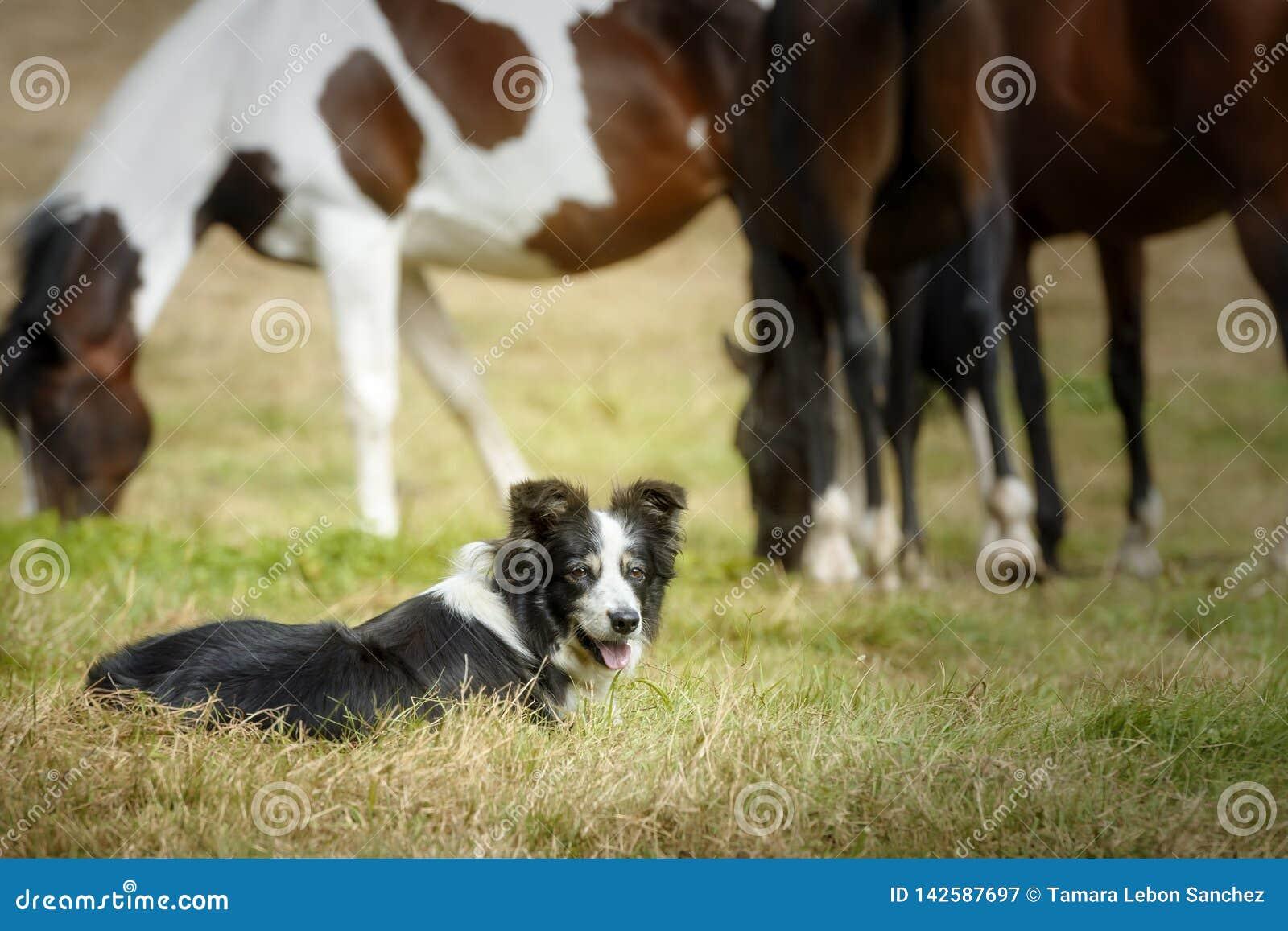 Seniora Border Collie psi odpoczynkowy lying on the beach na trawie po biegać z swój stadem konie
