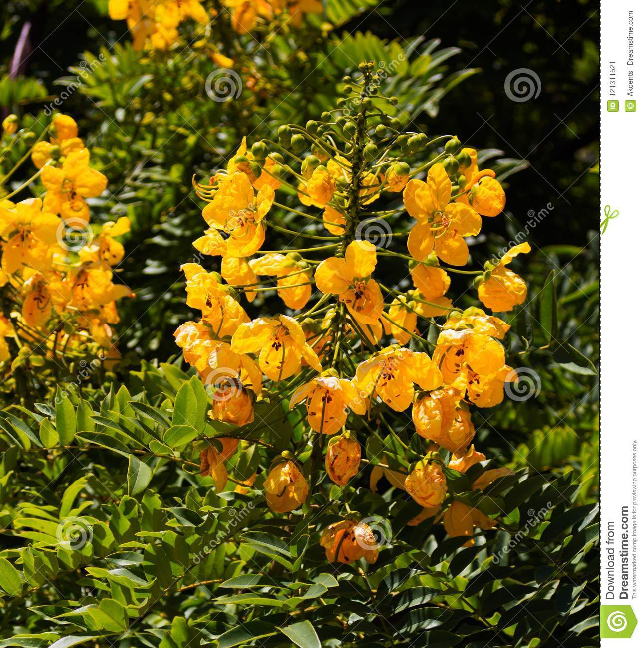 Senna Candolleana Golden Cassia Cluster Of Yellow Flowers Stock