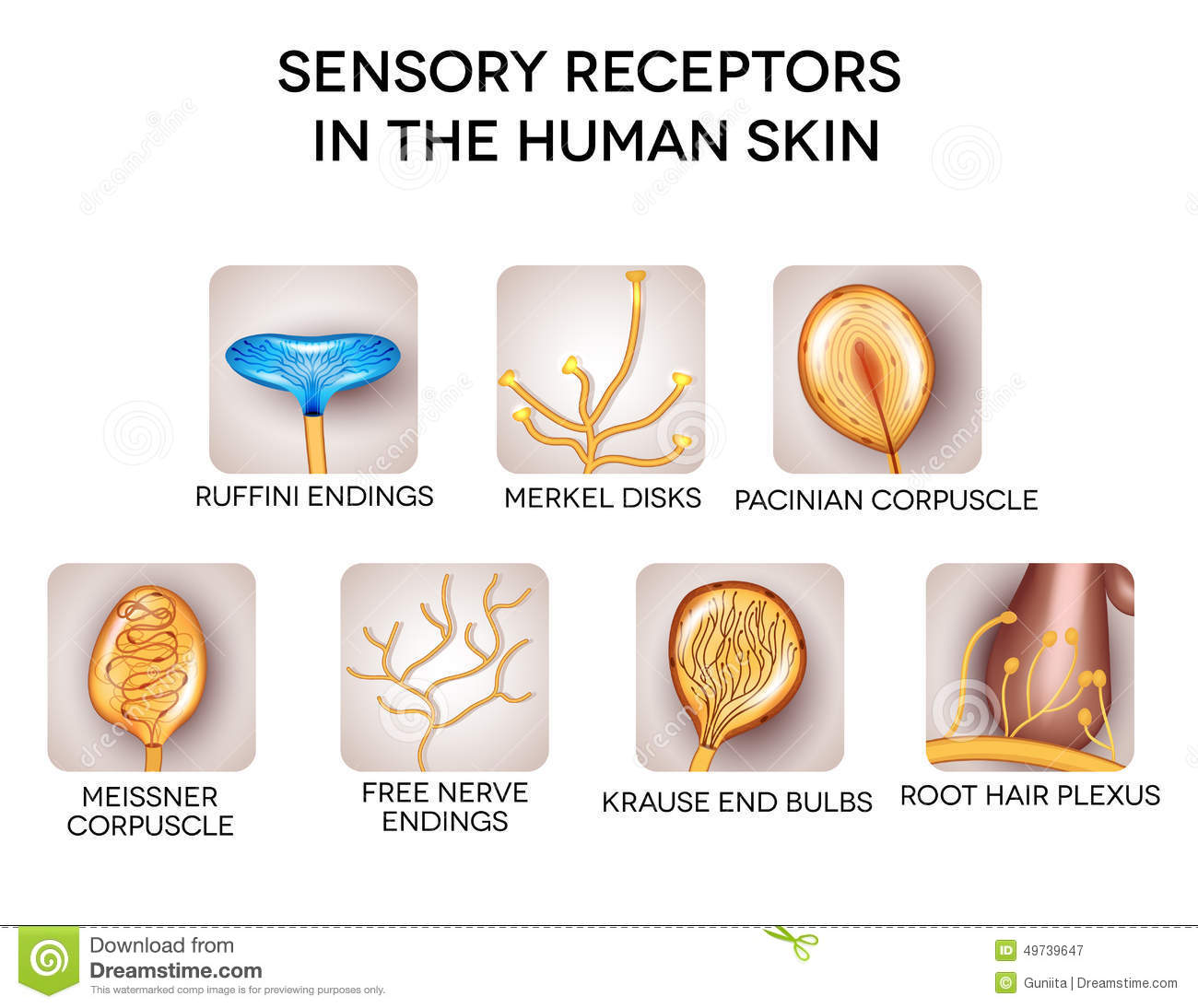 Medical Encyclopedia - Structure and Function: Sensory Receptors ...
