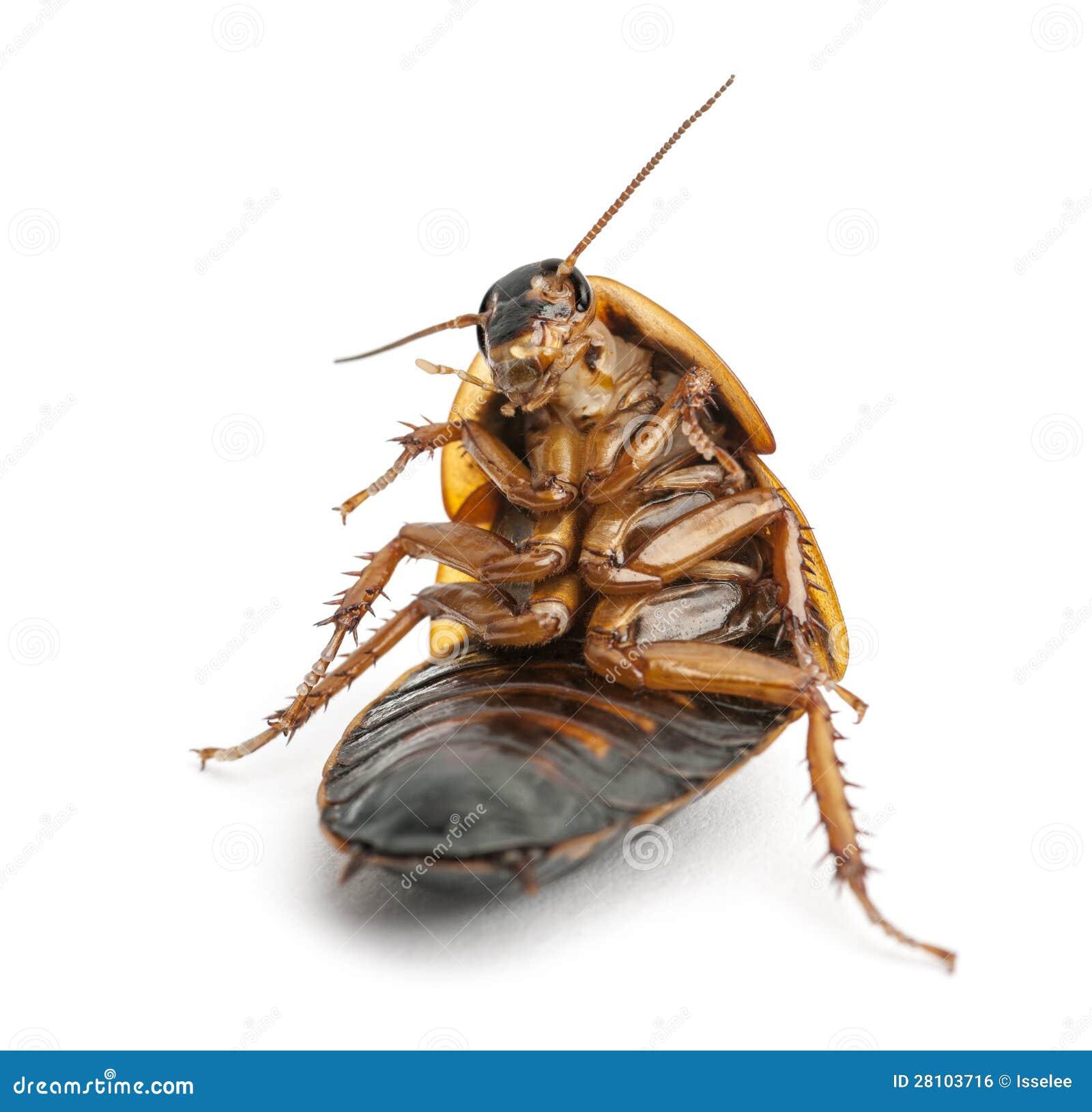 Sentada de la cucaracha imagen de archivo libre de - Que hacer contra las cucarachas ...