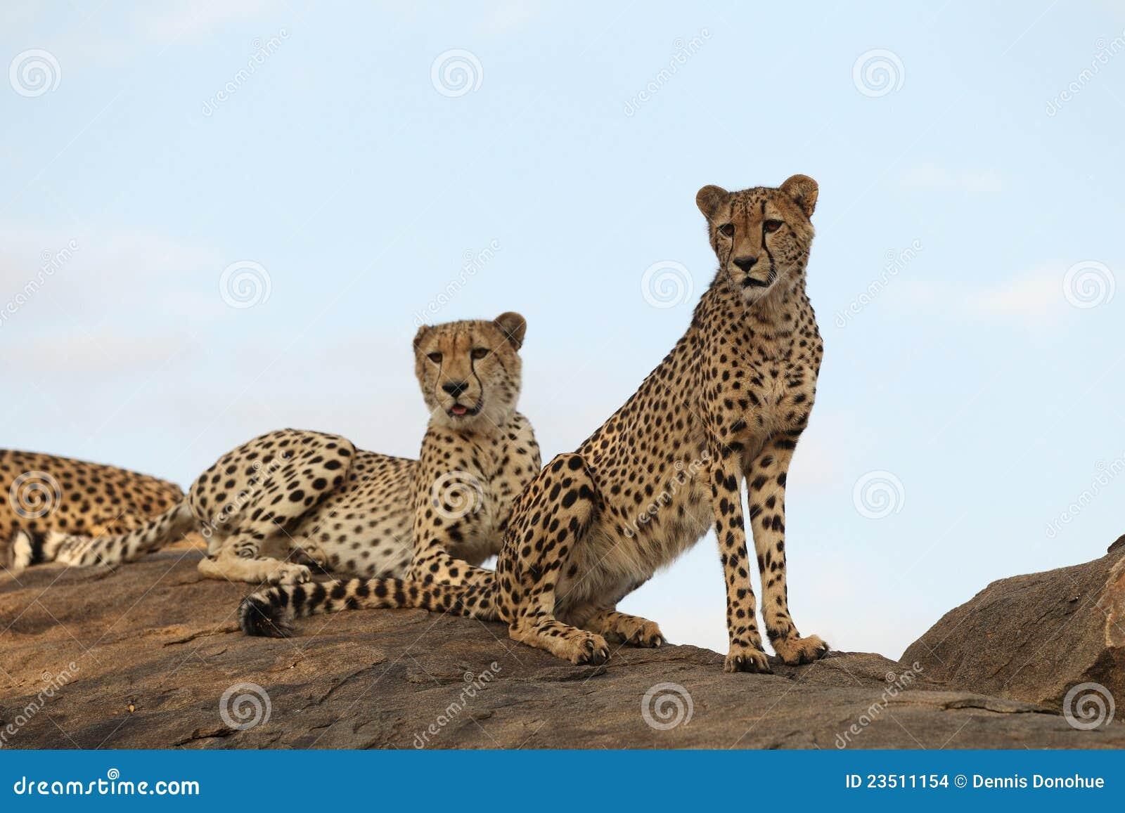 Sentada de los pares del guepardo