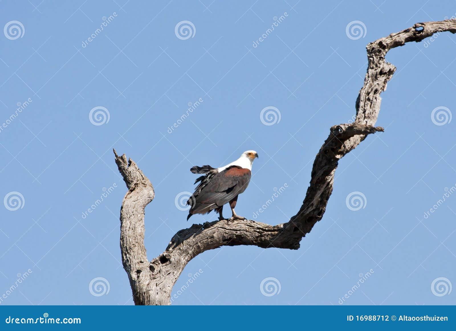 Sentada del águila de pescados