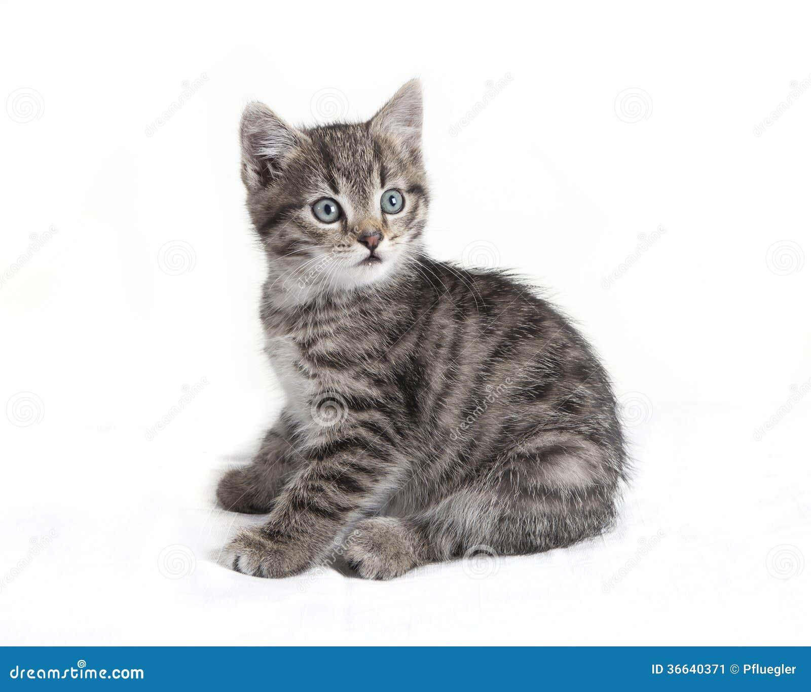 Sentada gris del gato de gato atigrado Imagen de archivo