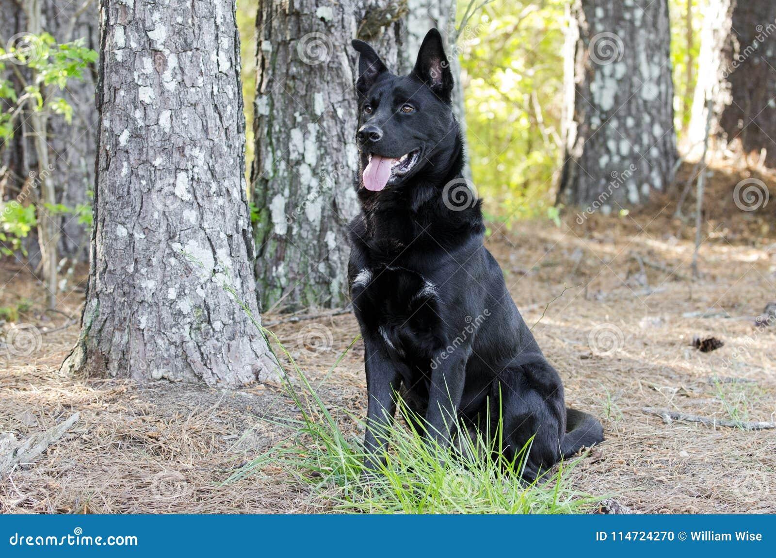 Sentada negra grande del perro de la raza de la mezcla del pastor alemán, rescate del animal doméstico