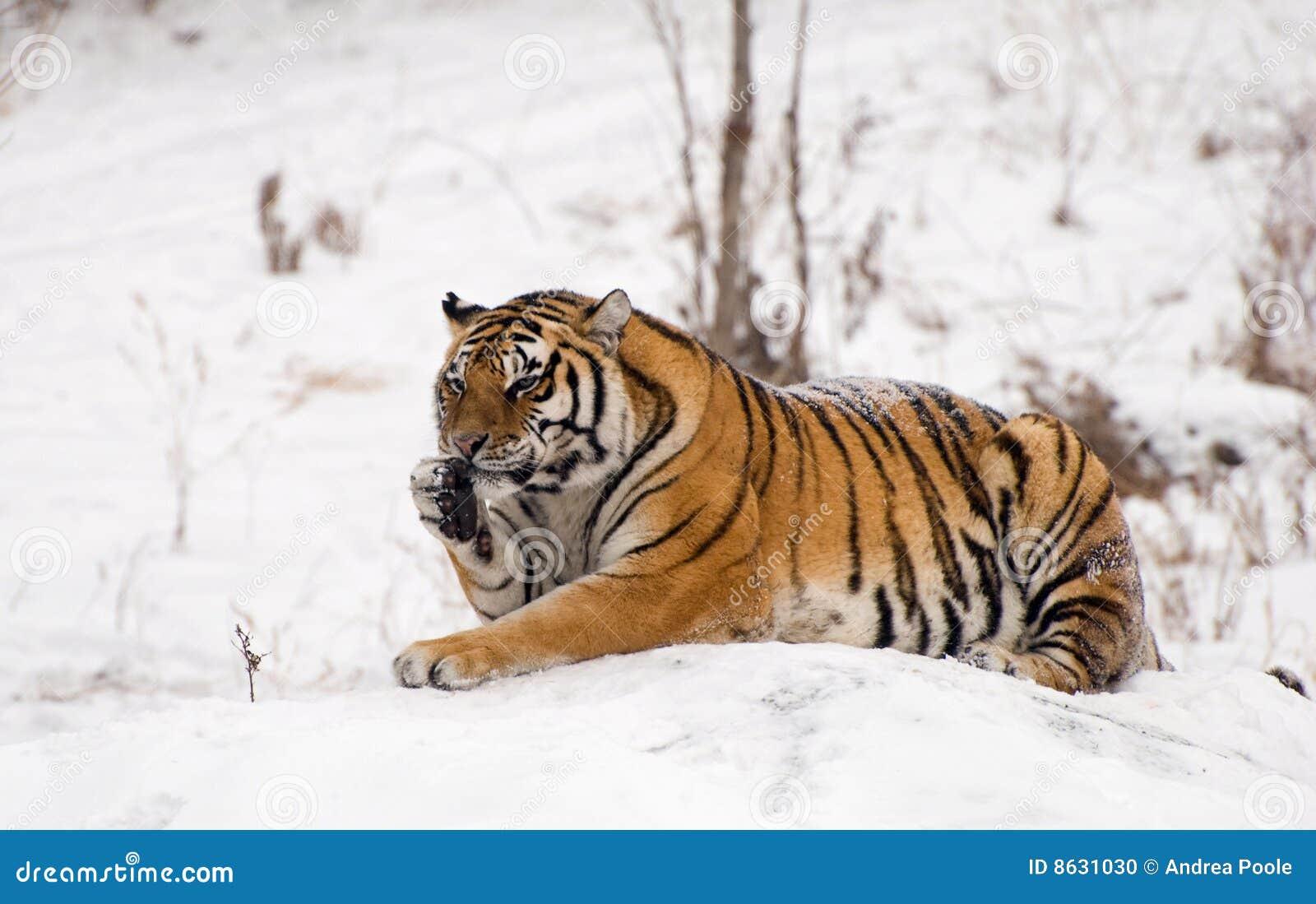 Sentada siberiana del tigre