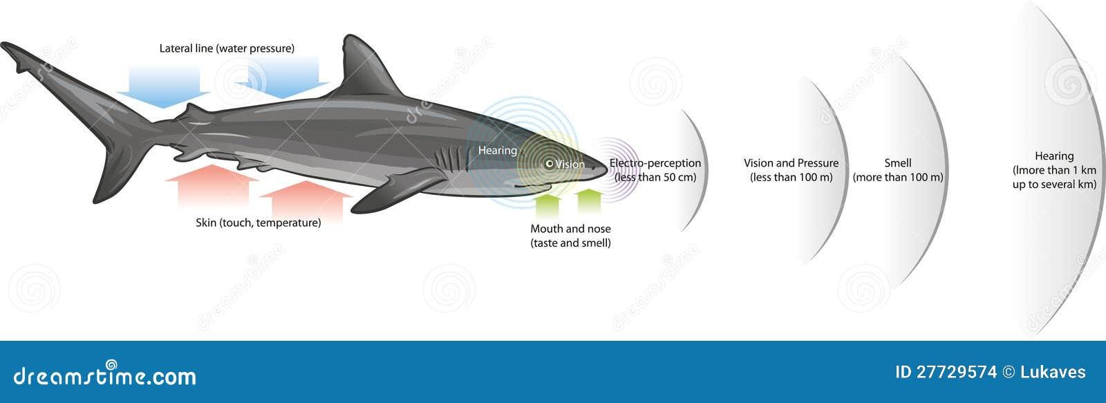 Sentidos del tiburón ilustración del vector. Ilustración de natación ...