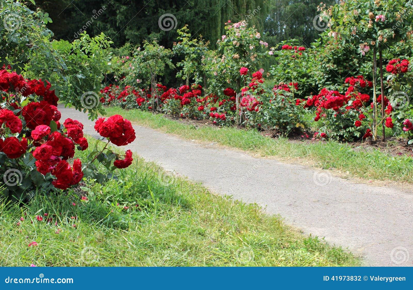 Sentiero per pedoni nel giardino di rose fotografia stock - Giardino con rose ...