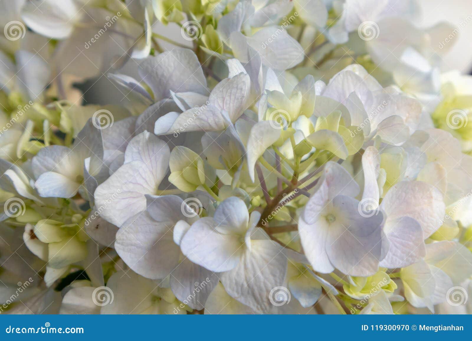 Sepal-Hydrangea macrophylla Thunb. Ser.