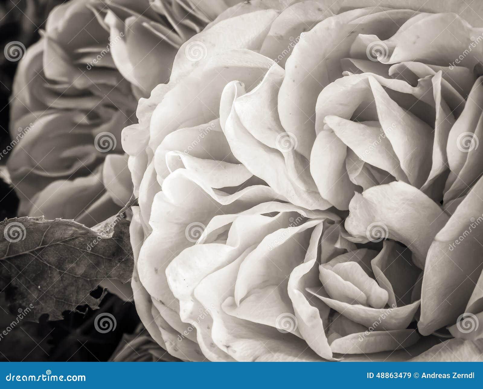 Sepia Rosa