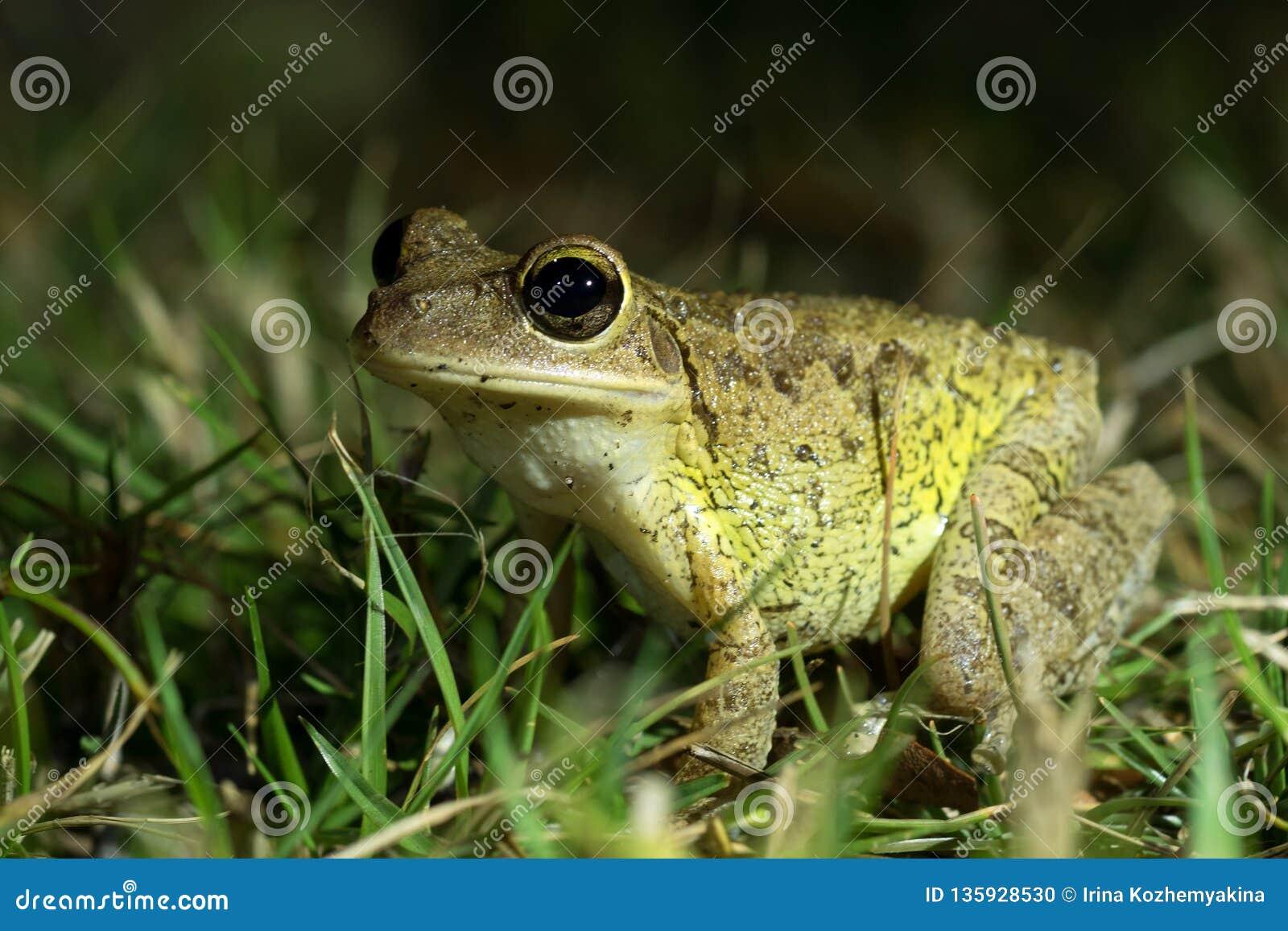Septentrionalis di Treefrog Osteopilus del cubano in erba Fucilazione di notte Terreni paludosi parco nazionale, Florida, Stati U