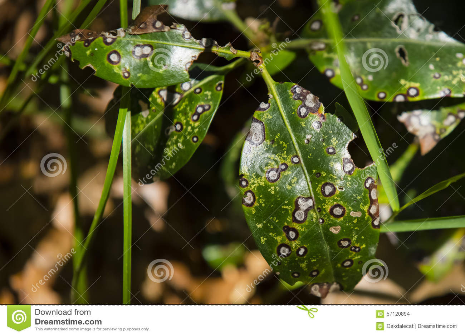 Septoria Leaf Spot/Leaf Rust Stock Photo - Image of sickness