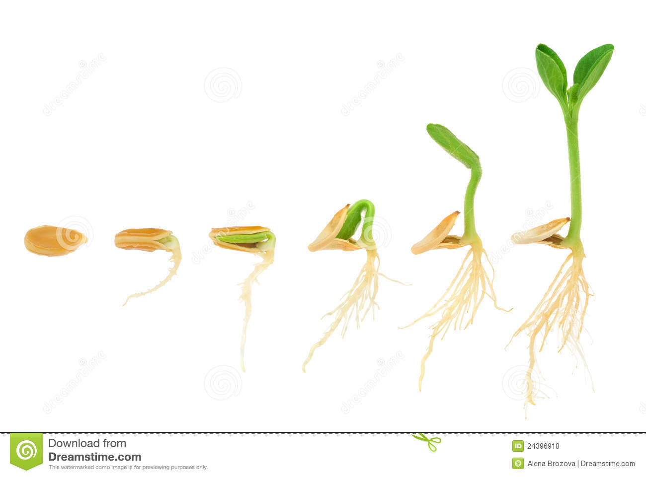 Sequence Of Pumpkin Plant Growing Isolated Royalty Free