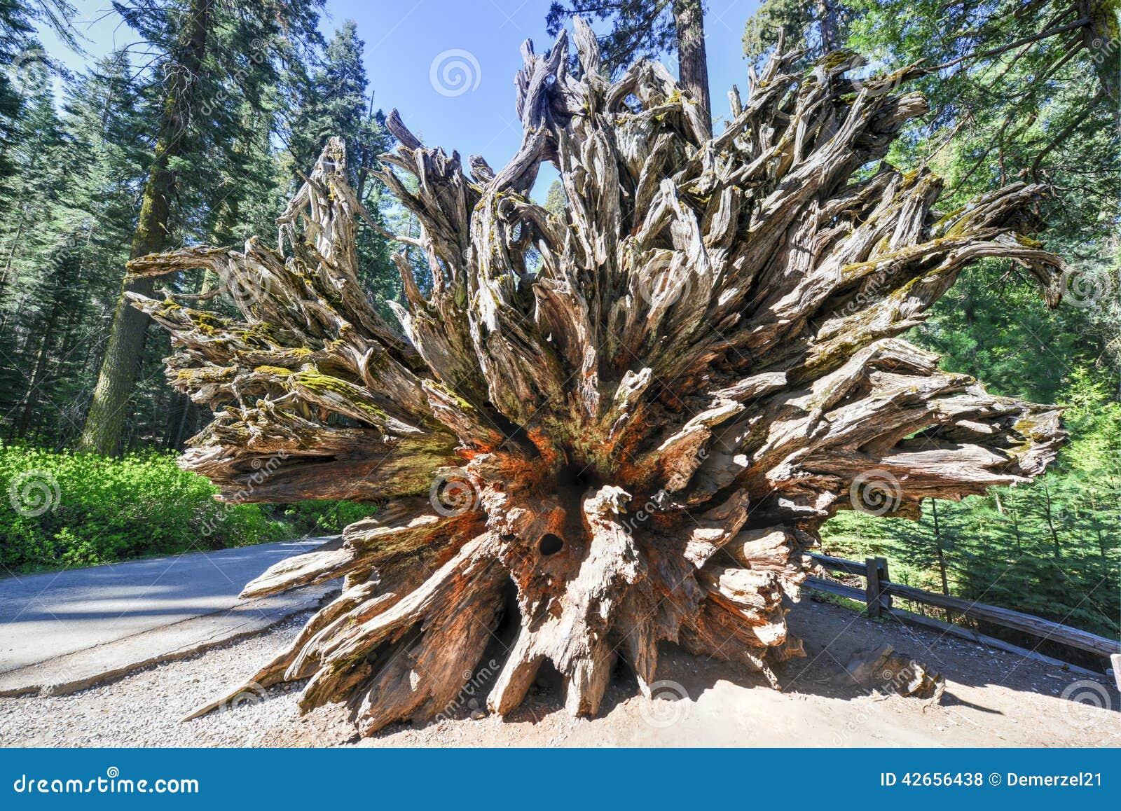 Sequoia caduta nel boschetto di mariposa parco nazionale for Cabine di alloggio del parco nazionale di yosemite