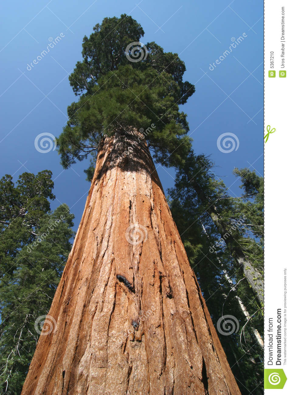 Sequoia sempervirens, the genus in the cypress family Cupressaceae ...