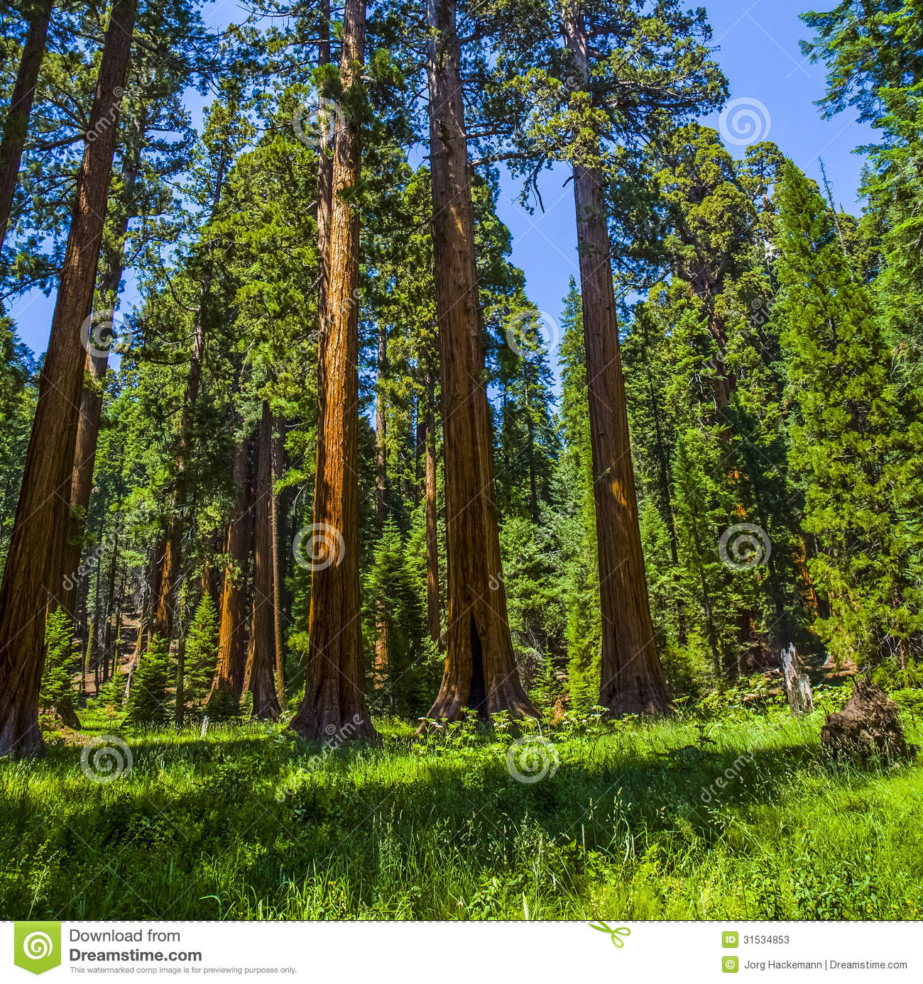 Sequoia trees in the Sequois National Park in California