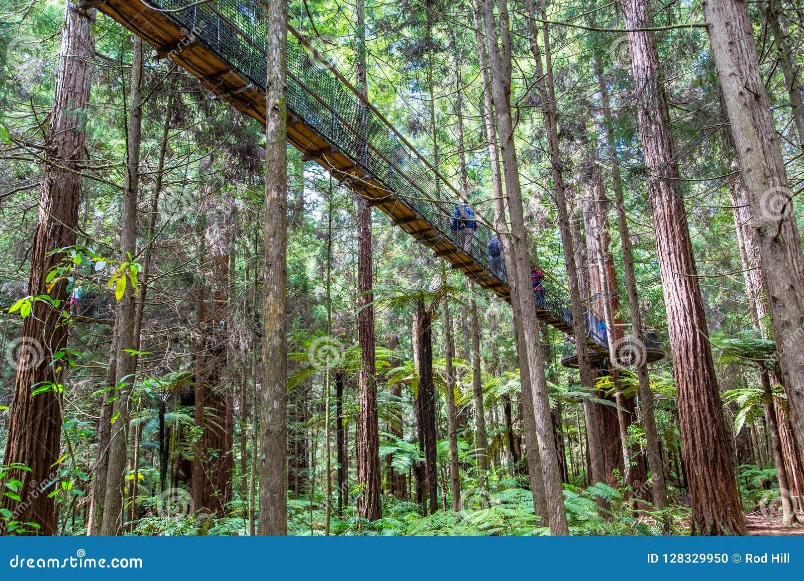 Sequoia vermelhas Treewalk - Rotorua