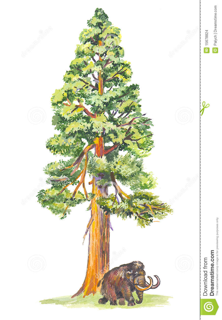 sequoiadendron mammoth tree stock images image 15678824