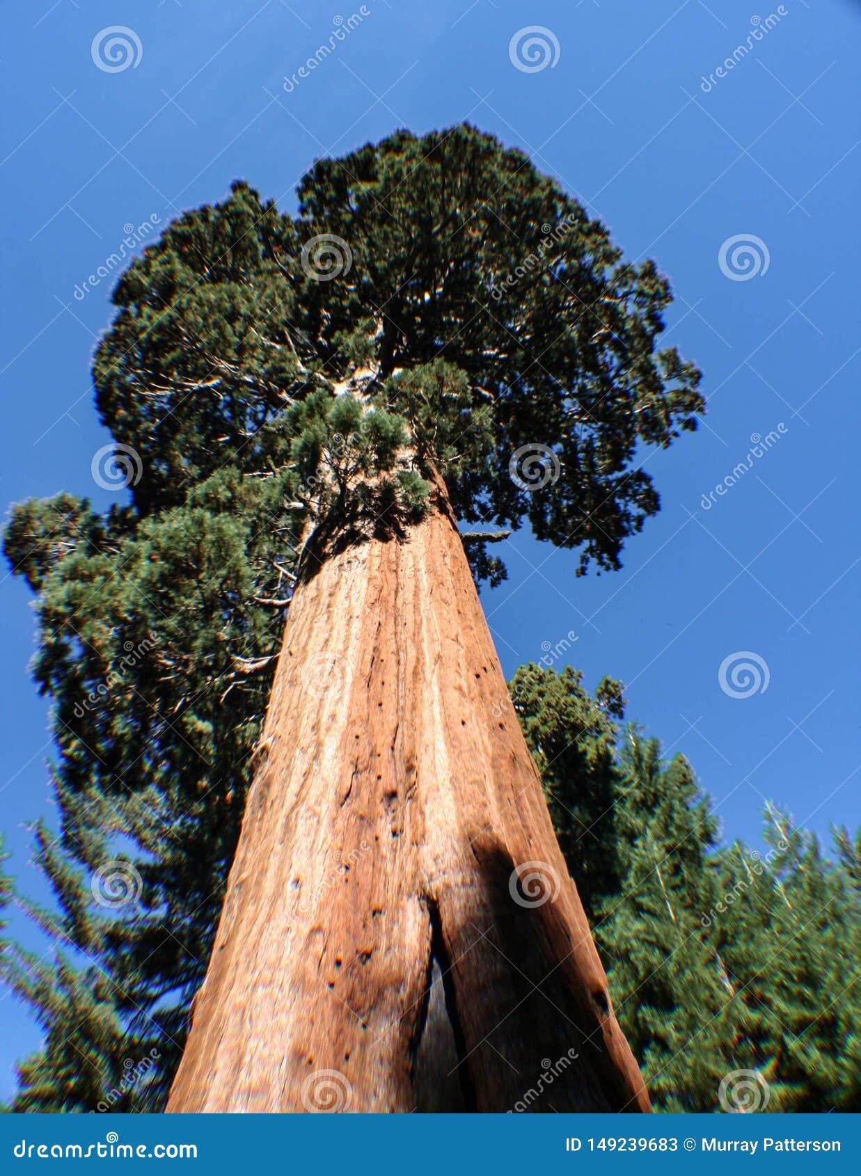 Sequoiamedborgare Forest Park