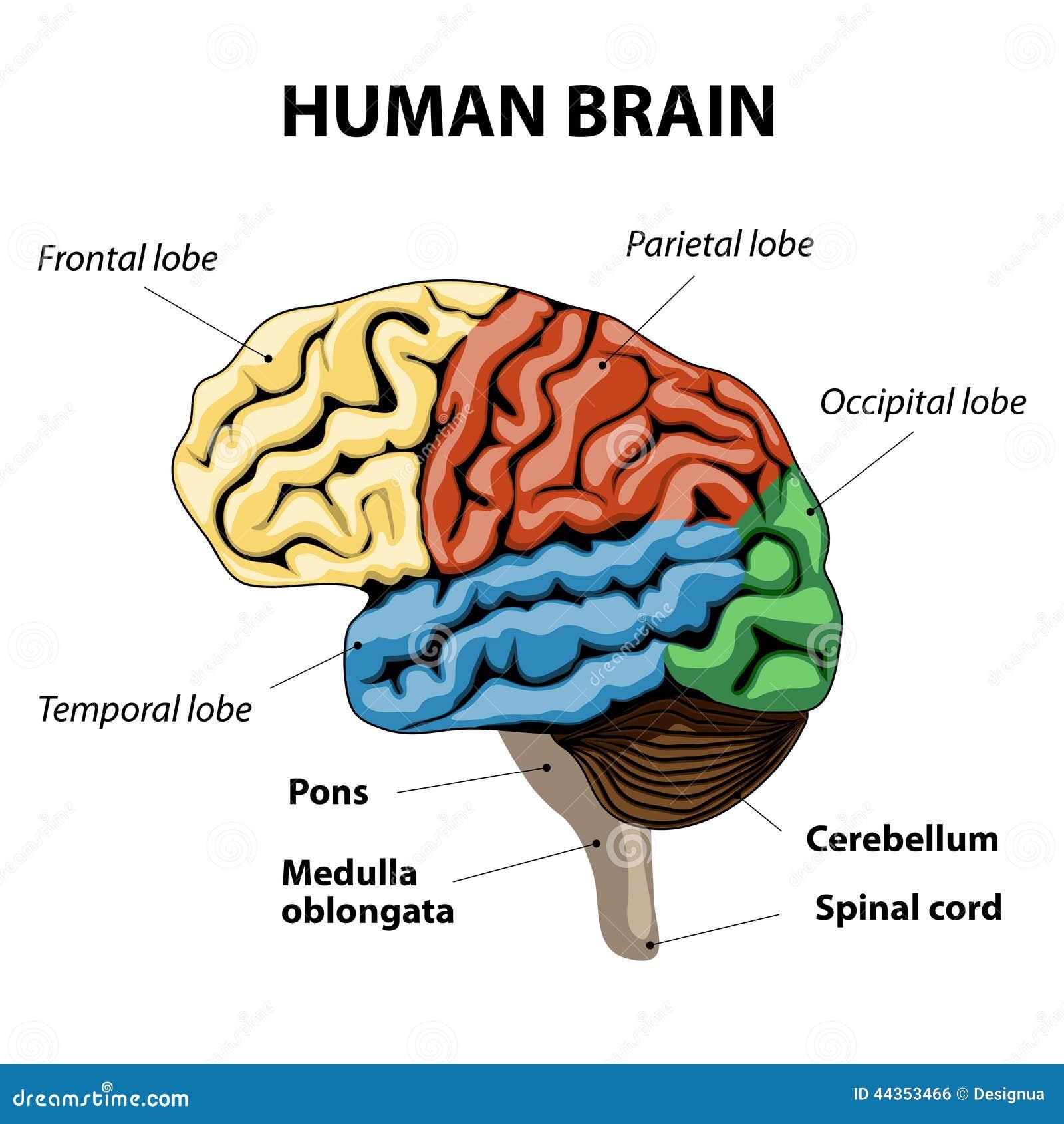 Human Brain Anatomy 3d Human Brain Anatomy Images