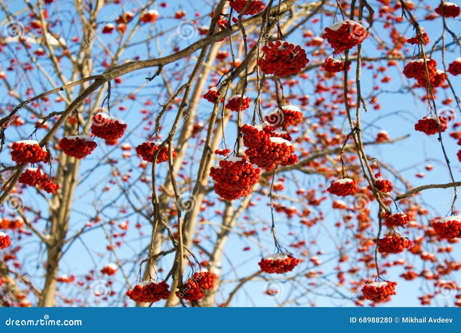 Serbal rojo del invierno