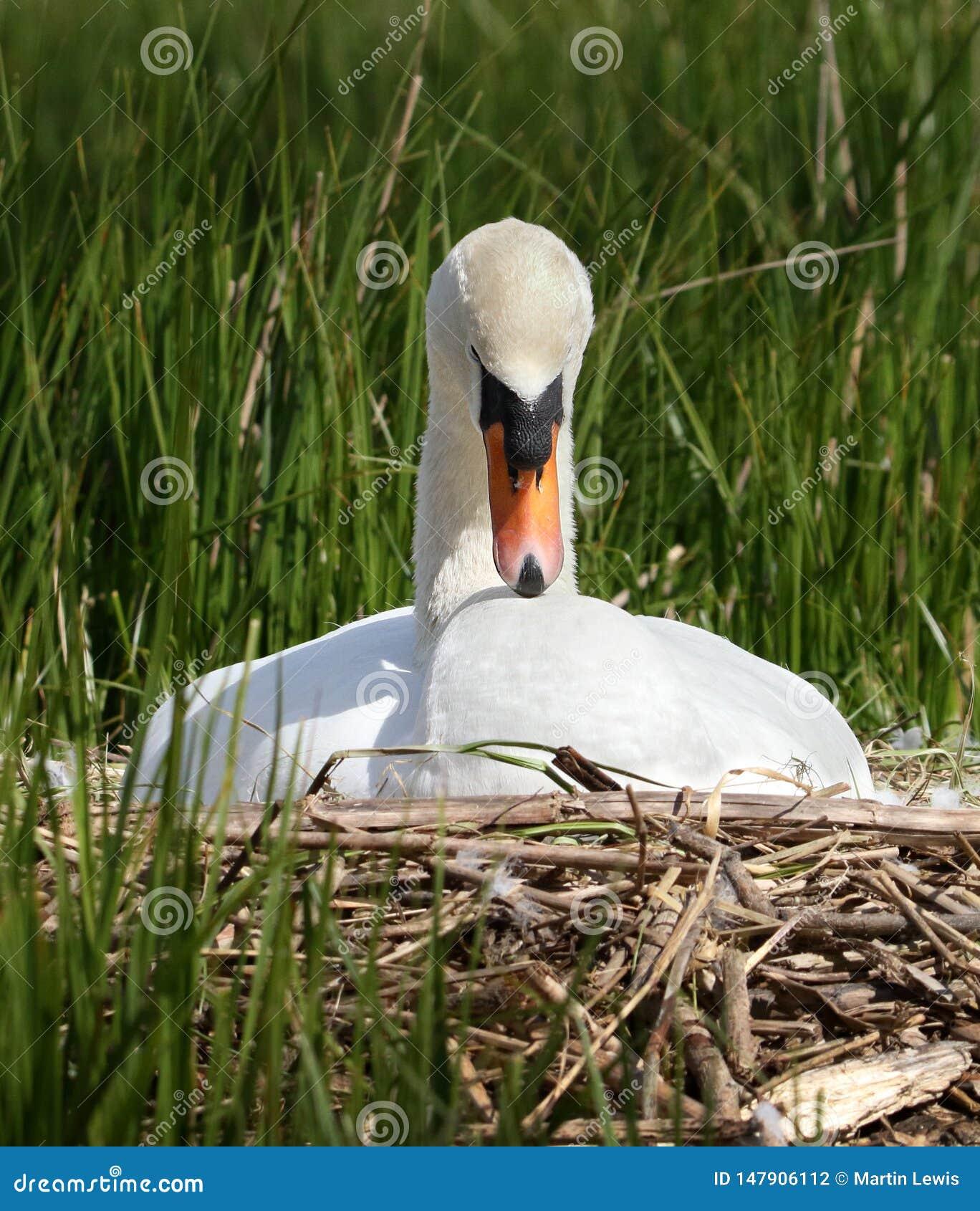 Serene Mute Swan Sitting On ein Nest