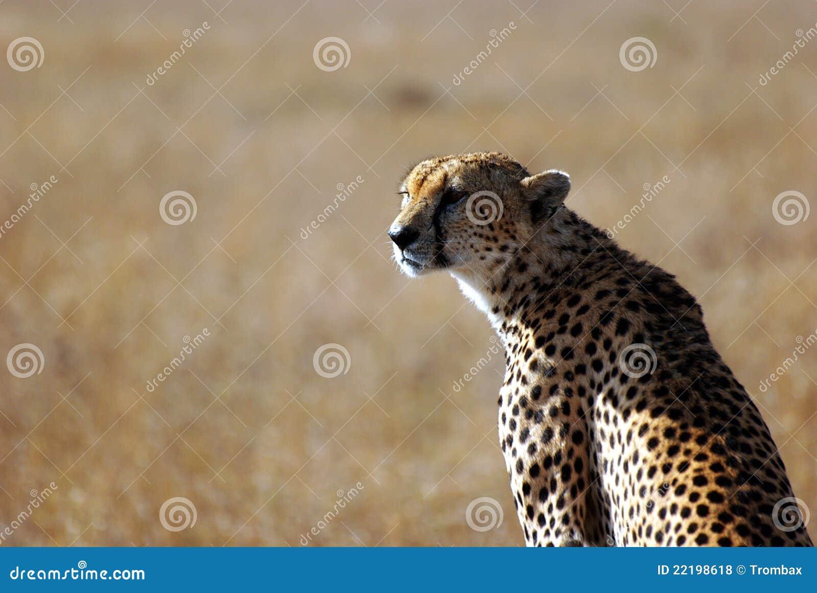 Serengeti πορτρέτου τσιτάχ