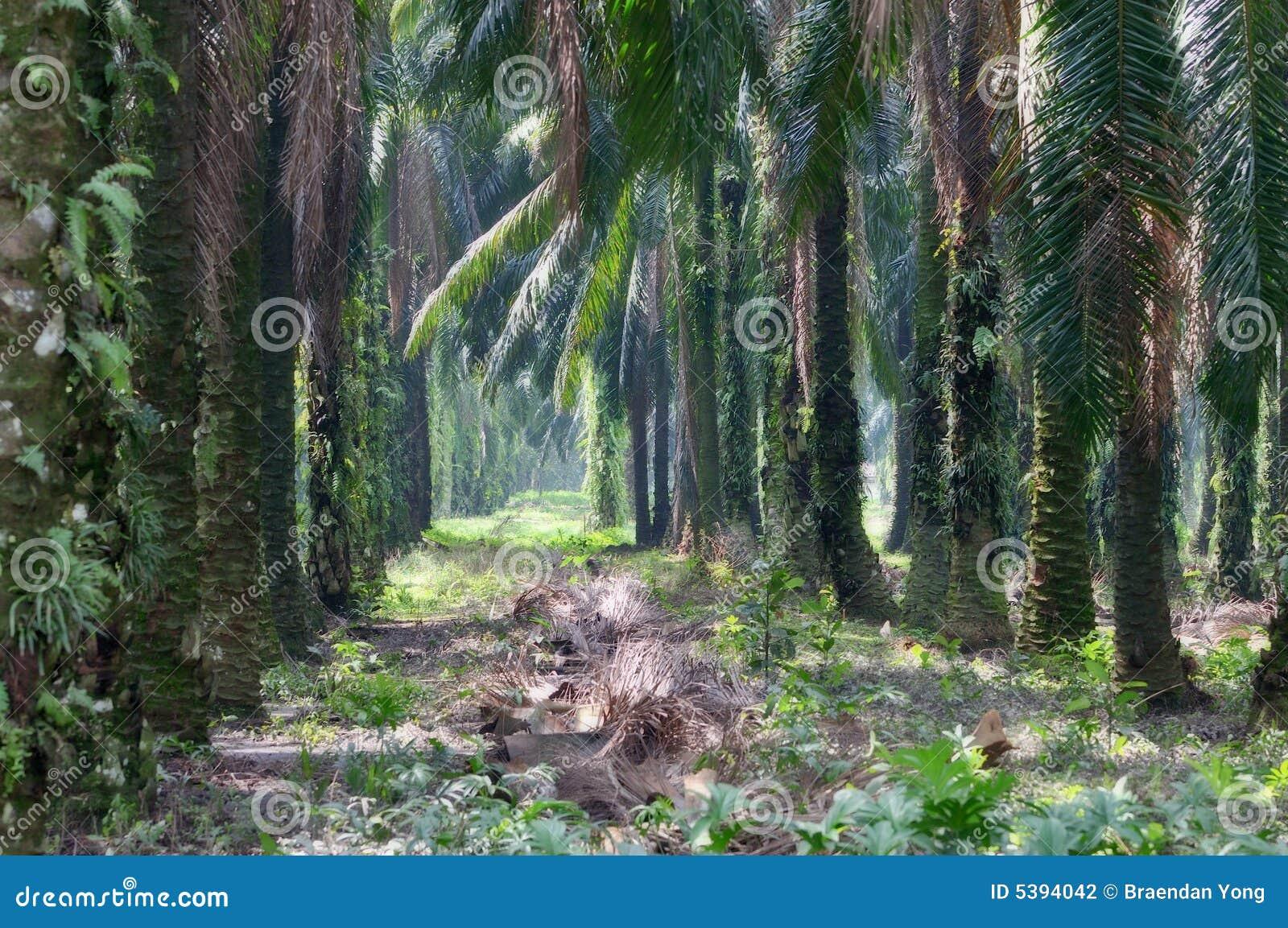 Serie 1 della proprietà della palma da olio
