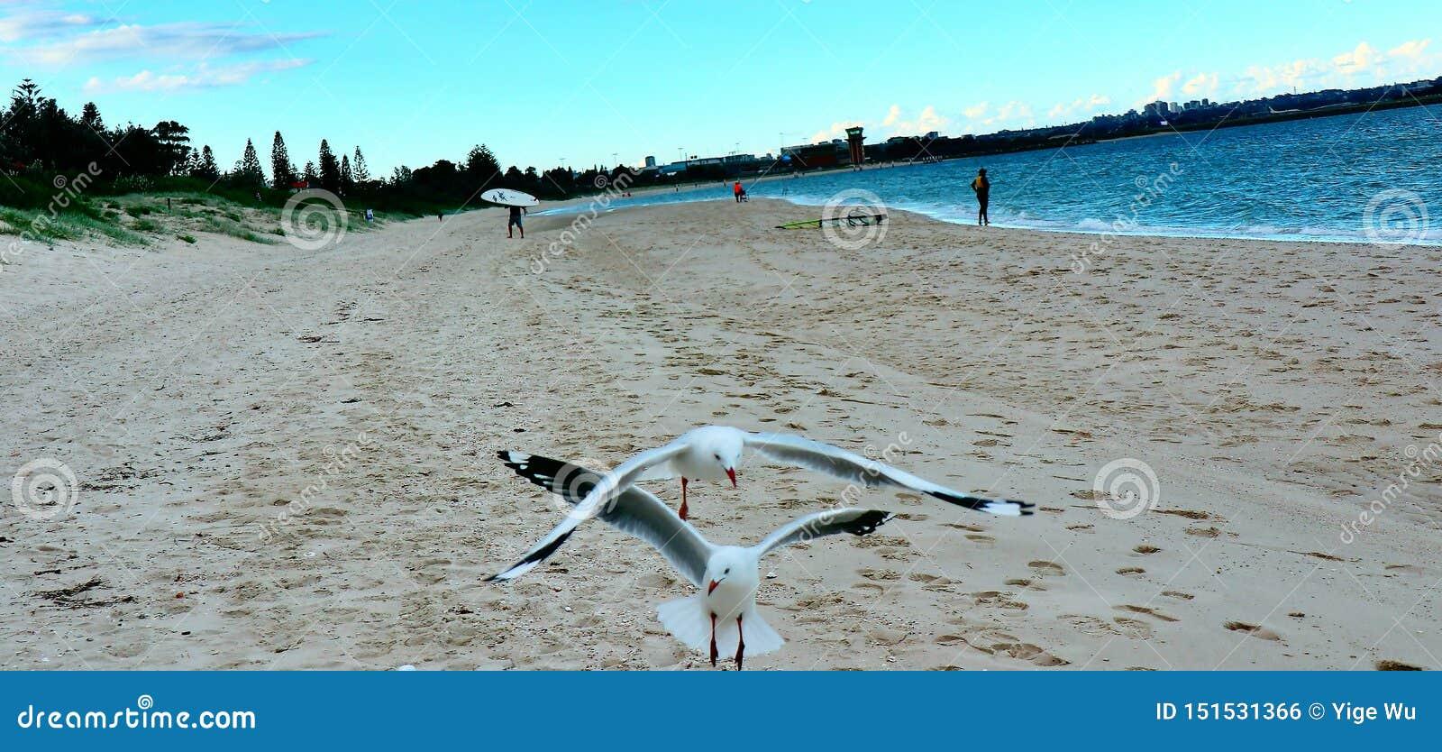 Serie delle coppie della spiaggia - gabbiani sulla spiaggia