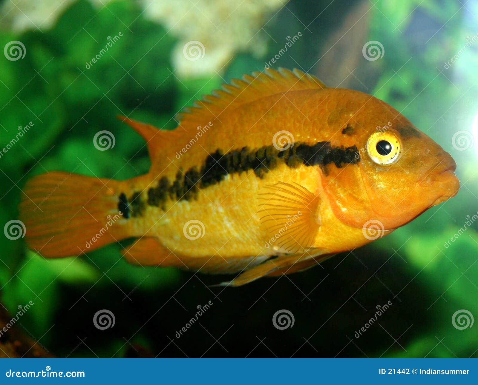 Serie för fisk iii