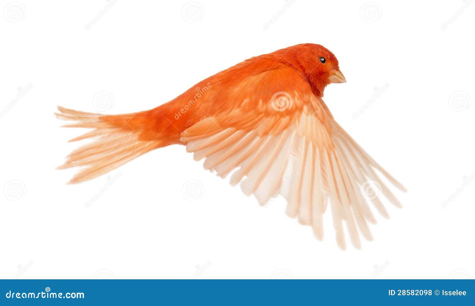 Serinus color giallo canarino rosso canaria, volante