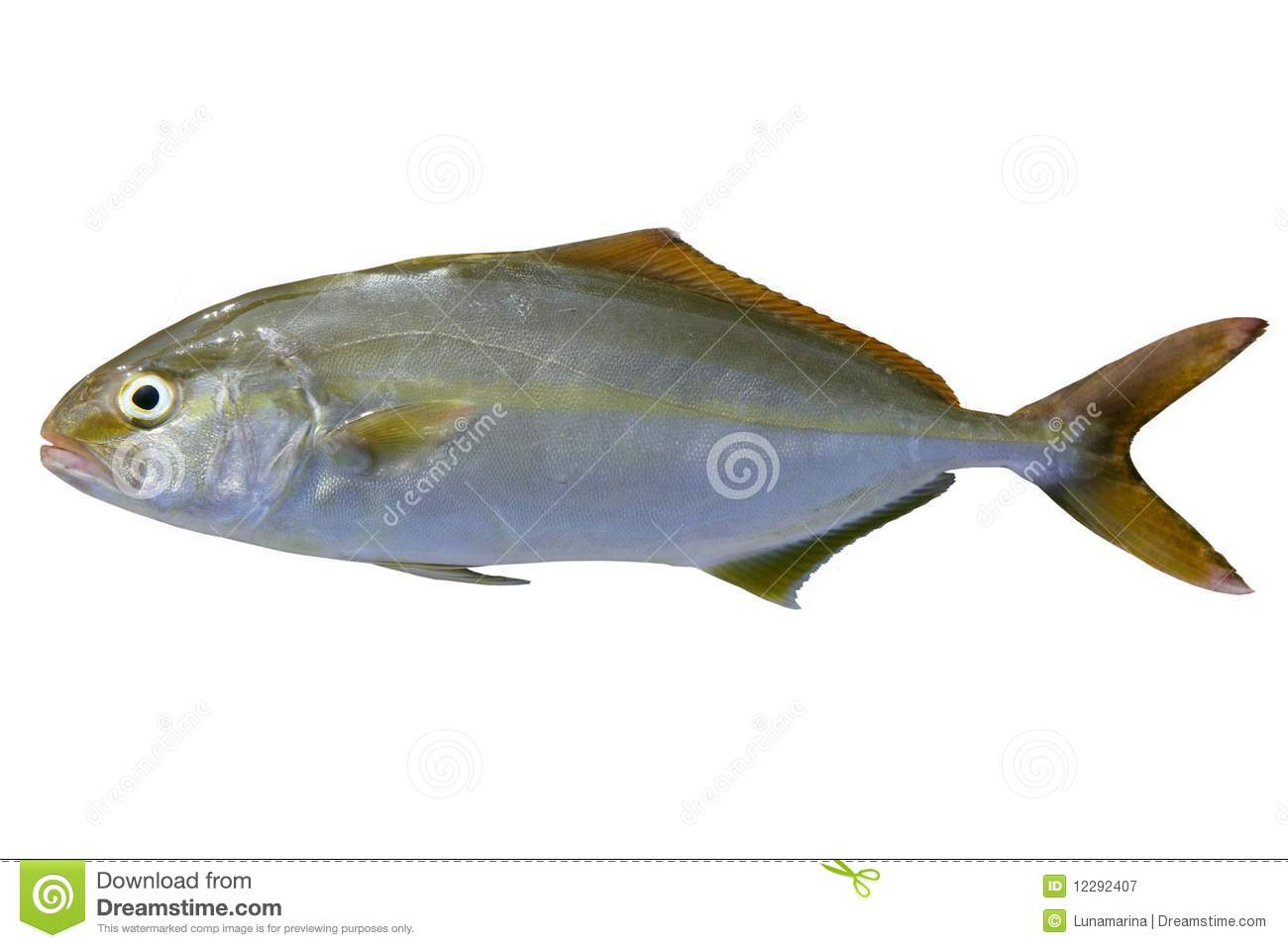 Seriola dumerili fish greater amberjack fish stock image for Image of fish