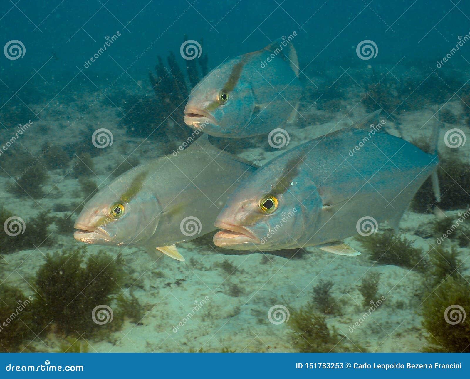 Seriola predator gamefish at Ceará reef
