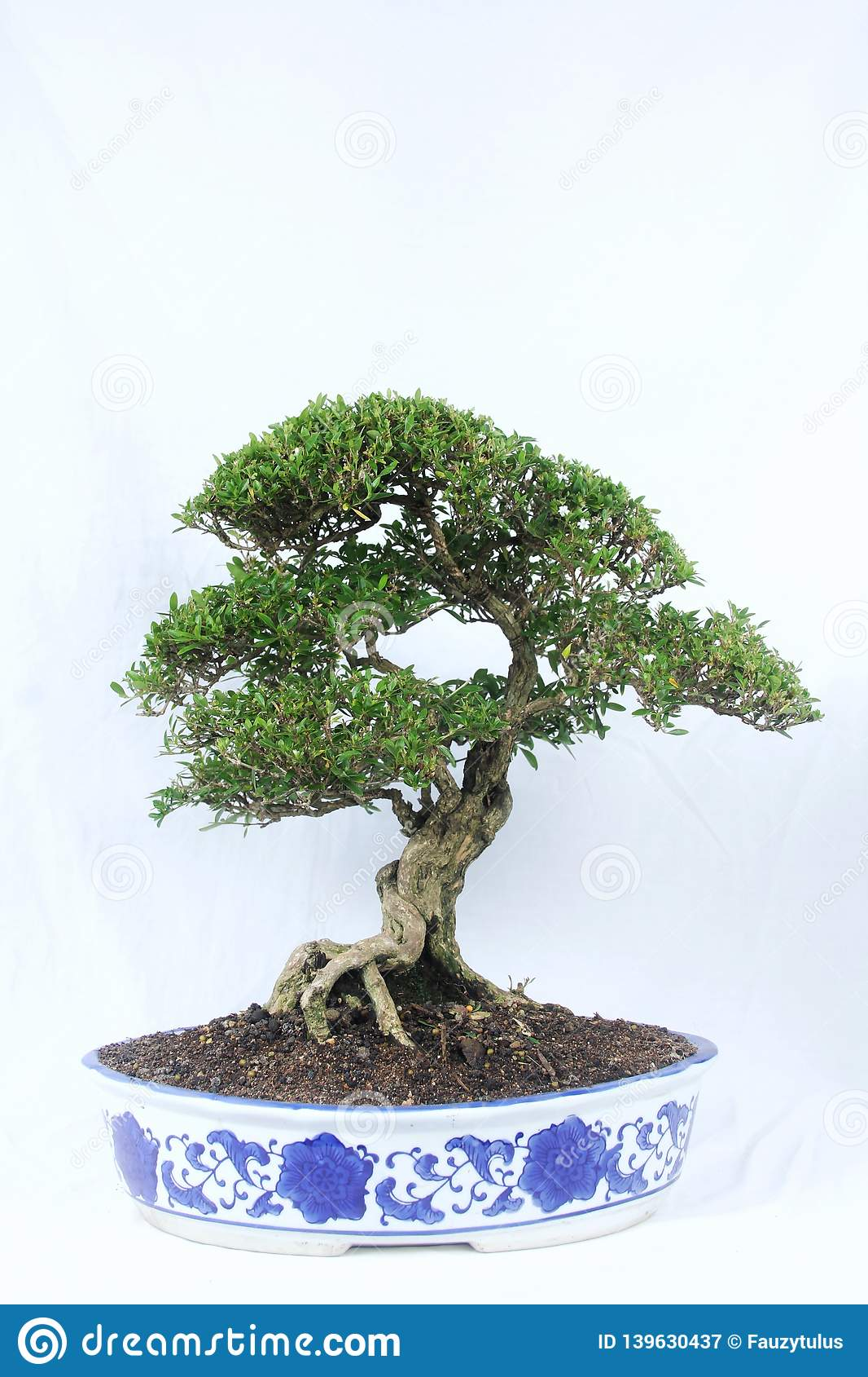 Subtropical Bonsai Trees Bonsai Tree