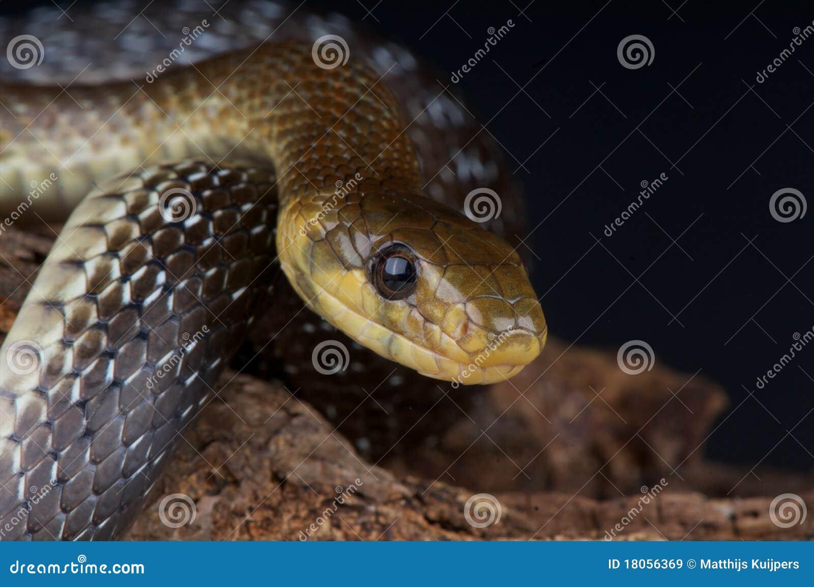 Serpent Aesculapian