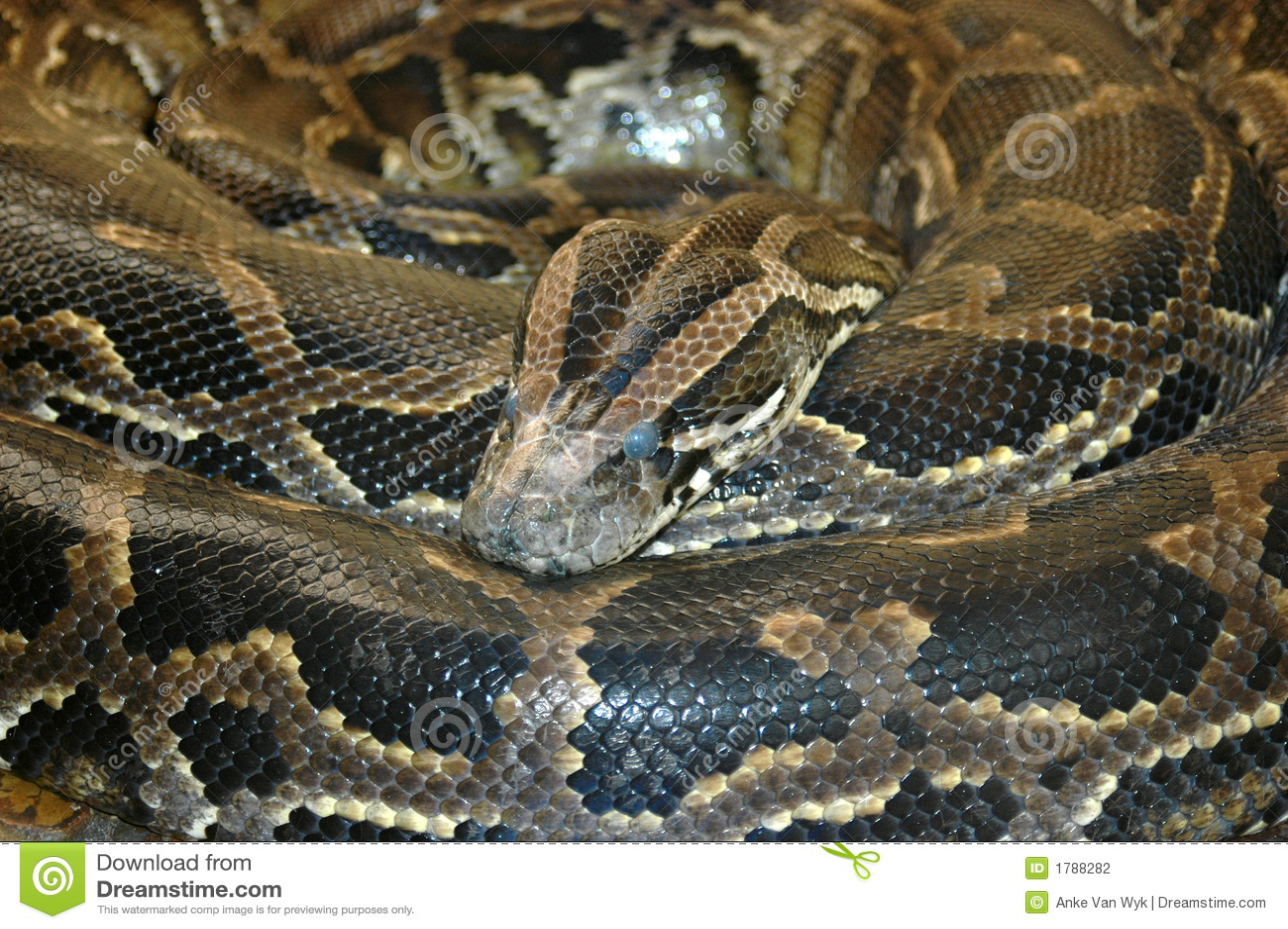 Serpent africain méridional de python de roche