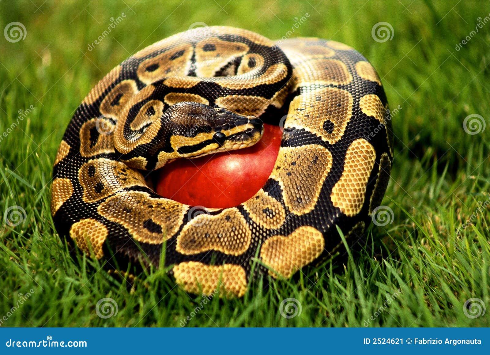 Serpent On Apple Stock Image - Image: 2524621