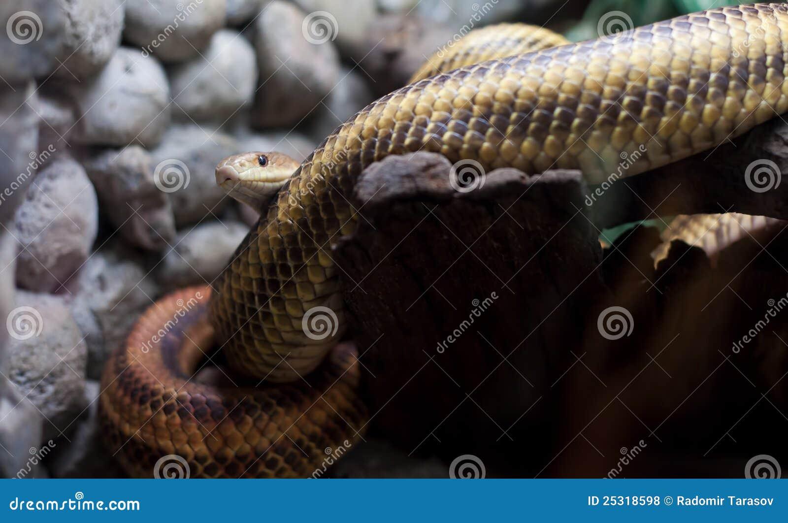Serpent dangereux dans le zoo de ville photos libres de - Vers dans les cerises dangereux ...