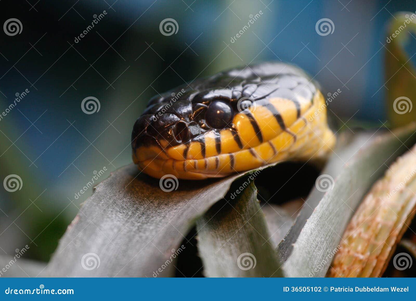 Serpent de cobra