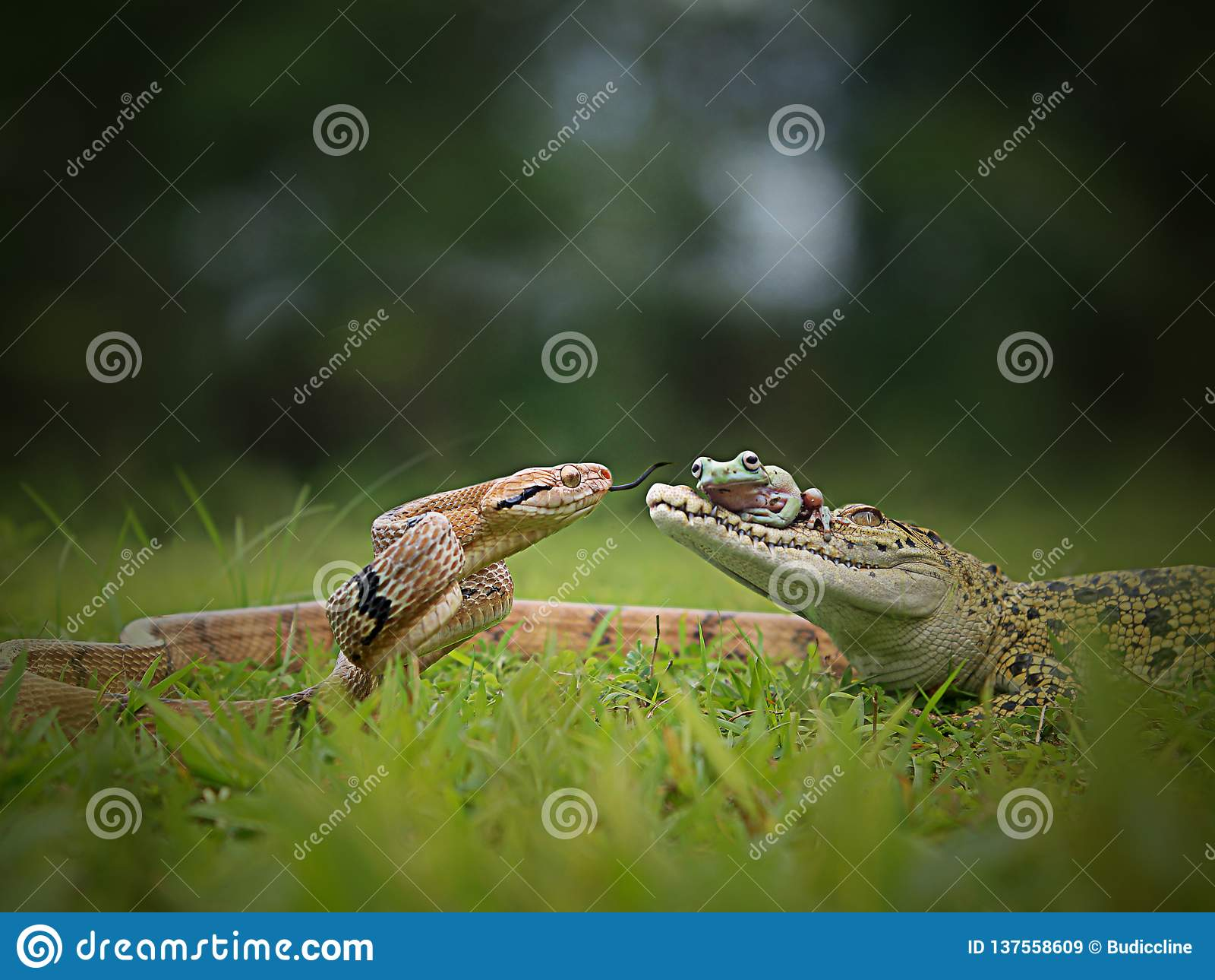 Serpent de dialogue, grenouille et le crocodile