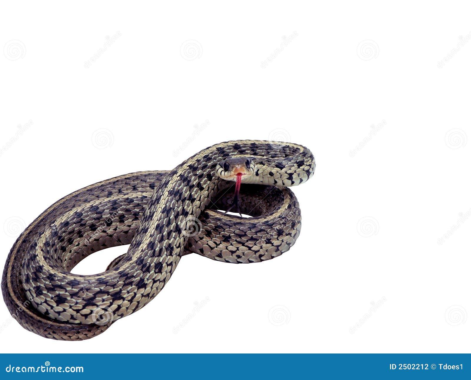 Serpent de jarretière d isolement