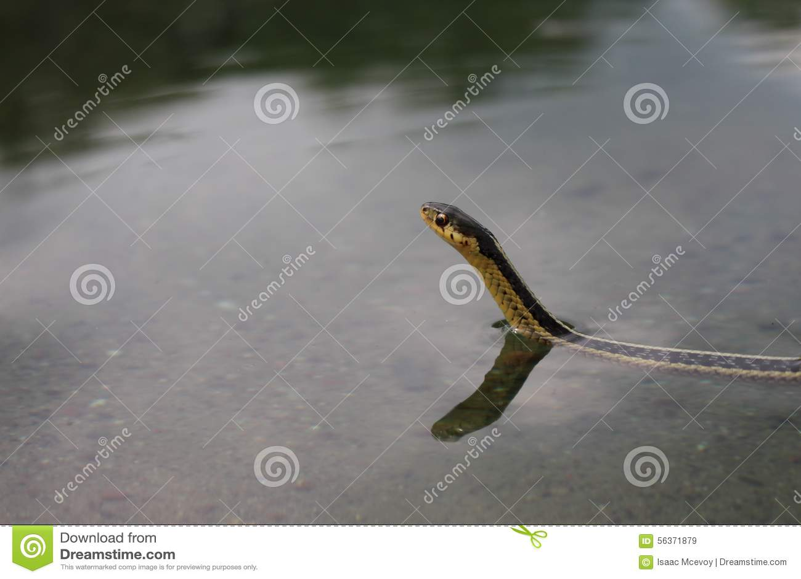 Serpent de jarretière de natation
