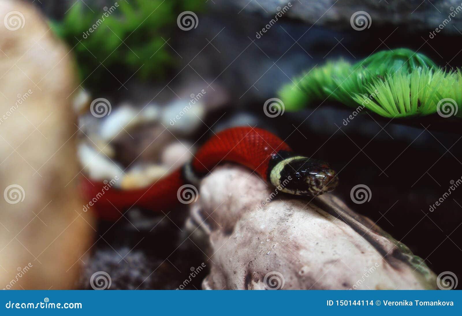 Serpent de lait de Sinaloan explorant son nouveau territoire