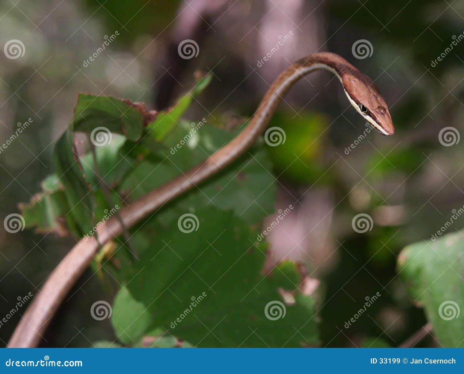 Download Serpent de vigne de Brown image stock. Image du lames, oeil - 33199