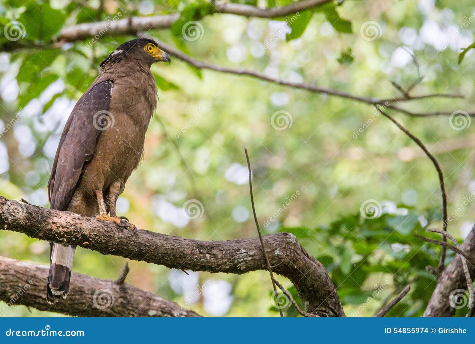 Serpent Eagle Perching In Habitat Stock Photo Image Of Predator