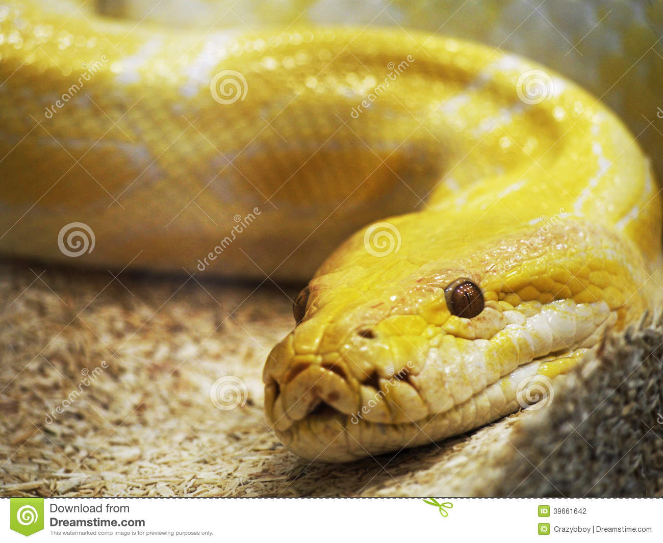 Serpent Jaune Photo Stock Image 39661642