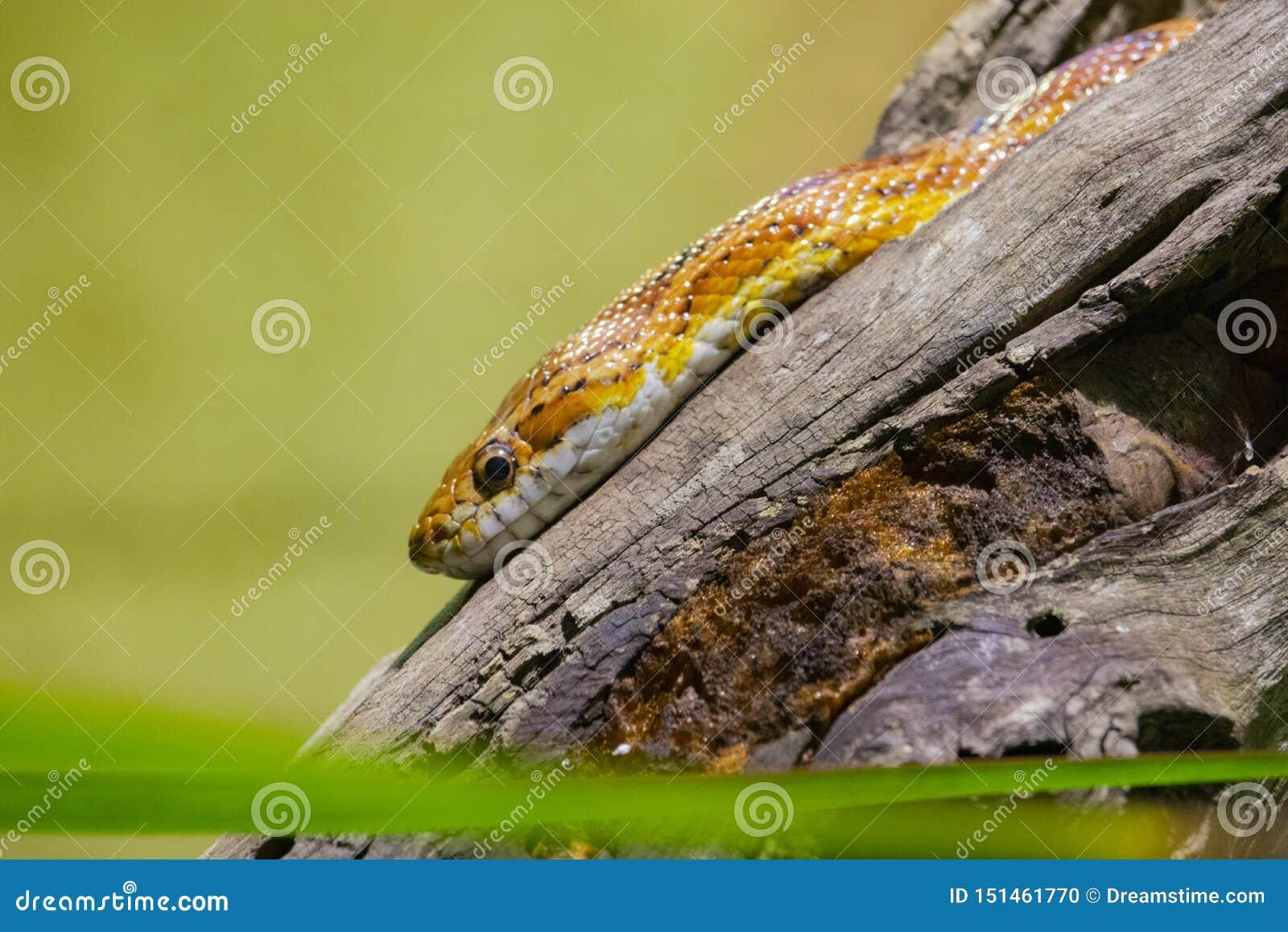 Serpent jaune se reposant sur un rondin