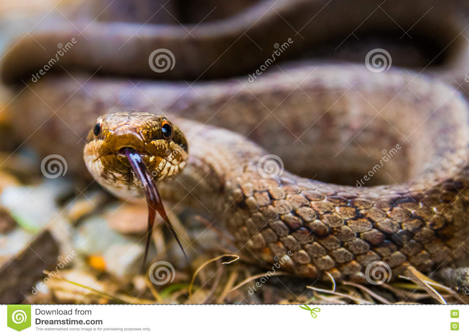 Serpent lisse