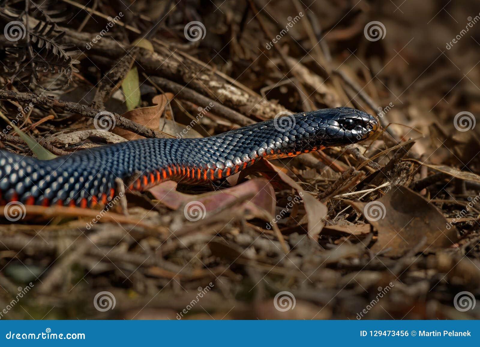 Serpent noir Rouge-gonflé - espèces de porphyriacus de Pseudechis d indigène de serpent d elapid vers l Australie orientale